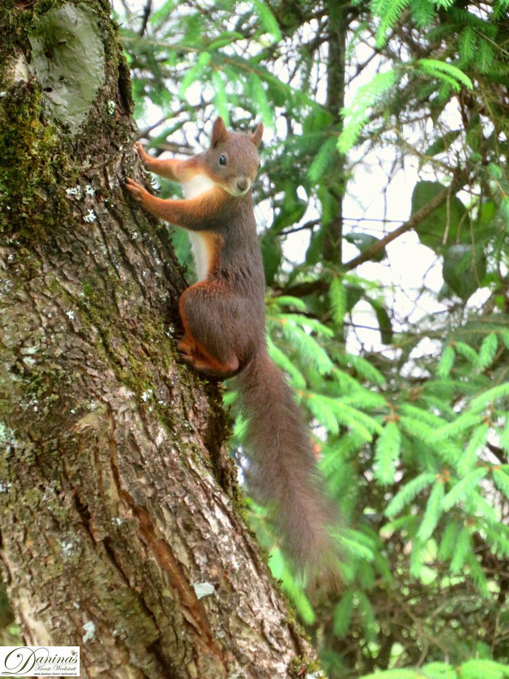 Eichhörnchen klettert blitzschnell auf den nächstgelegenen Zwetschgenbaum