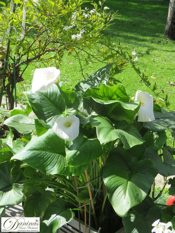 Weiße Calla: Bezaubernde Topfpflanze im Sommergarten