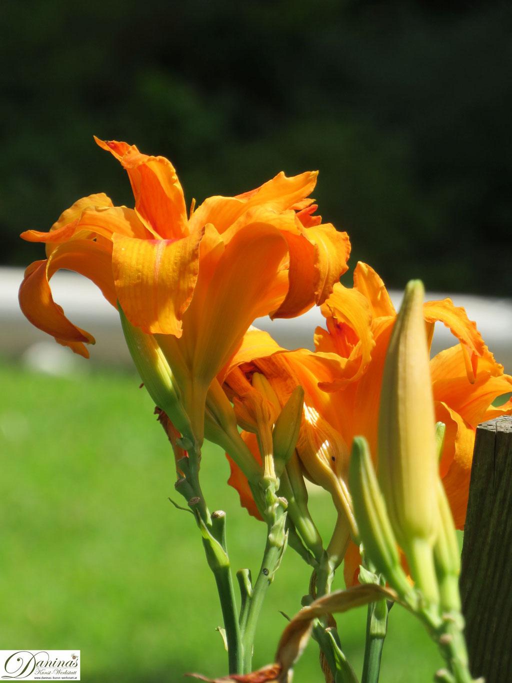 Taglilien im Sommer