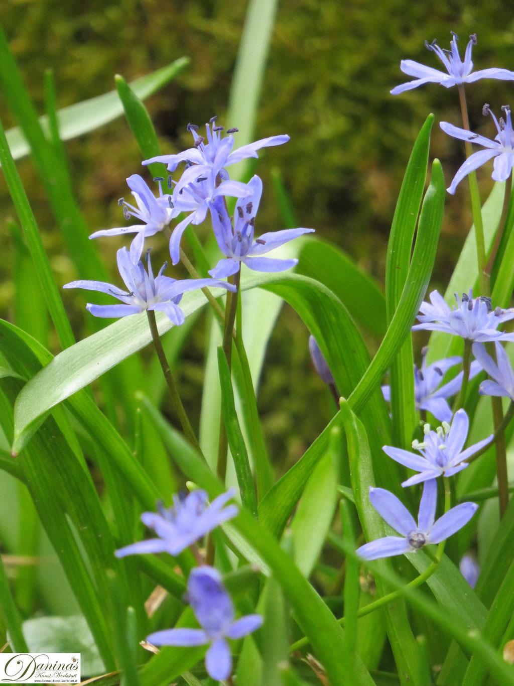 Zweiblättriger Blaustern - Frühlingsblumen im Garten