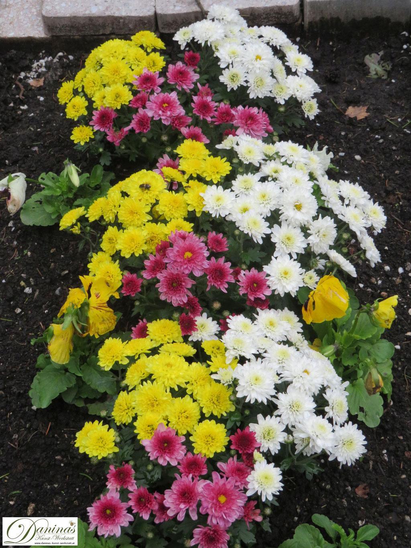 Typische Friedhofsblumen im Herbst: rote, gelbe und weiße Chrysanthemen