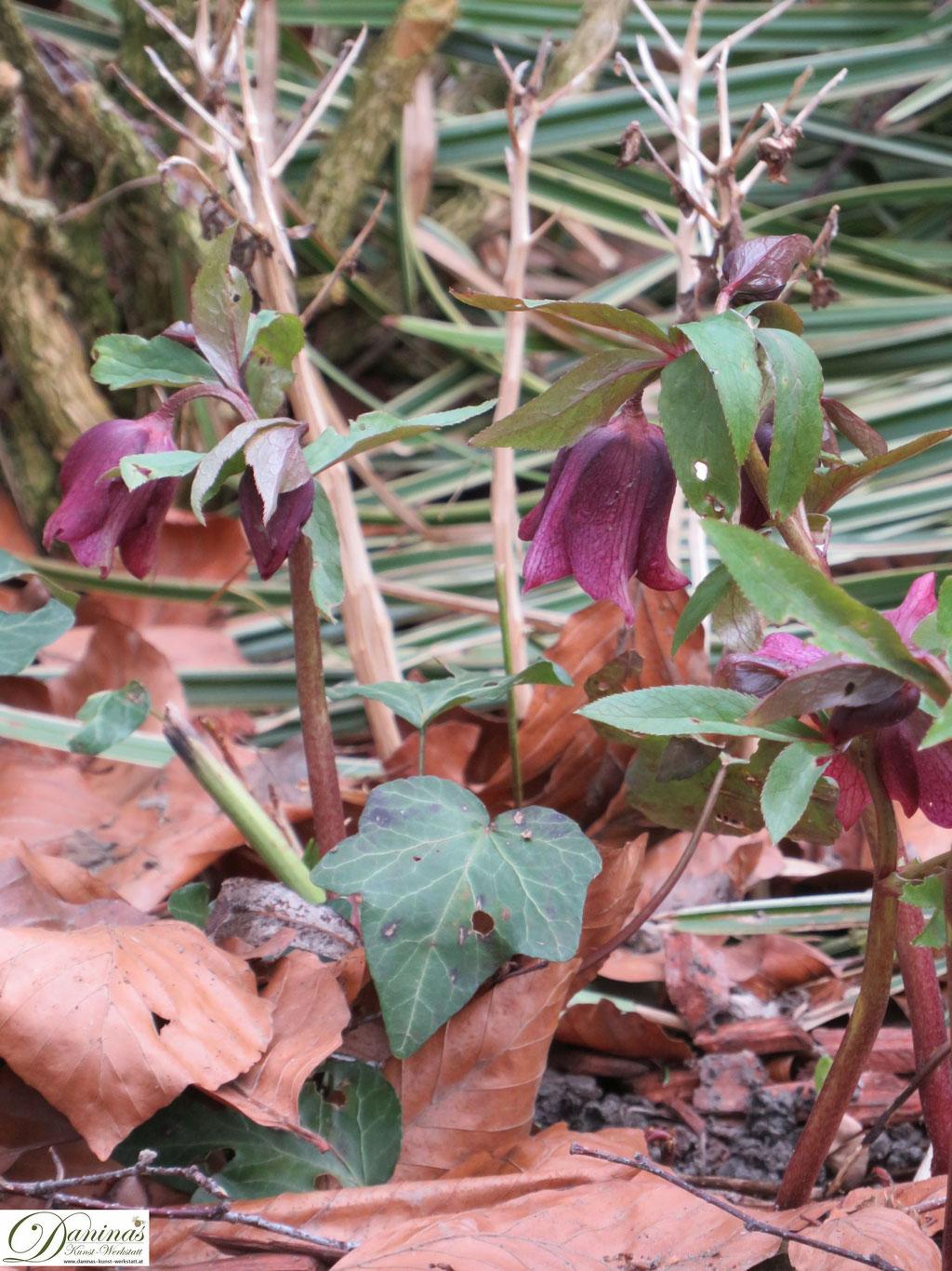 Lenzrose - Frühlingsblumen