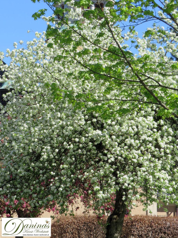 Weiß blühender Zierapfelbaum im Frühling.
