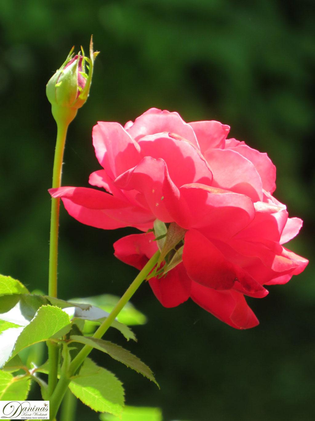Rose im Sommer