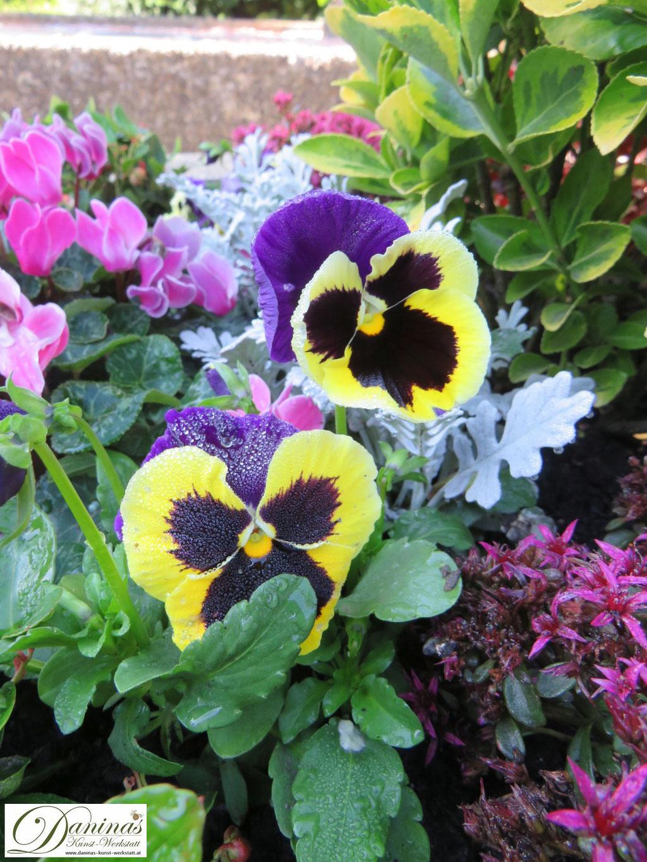 Typische Friedhofsblumen im Herbst: blau/gelbe Stiefmütterchen
