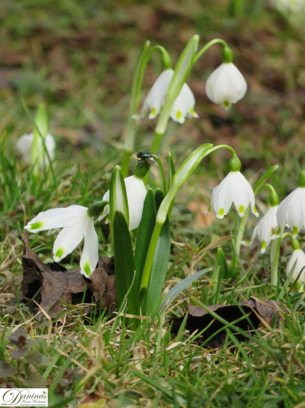 Frühlingsknotenblumen läuten den Frühling im Garten ein