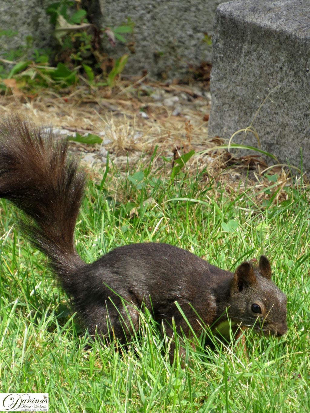 Eichhörnchen auf Nahrungssuche im Rasen.