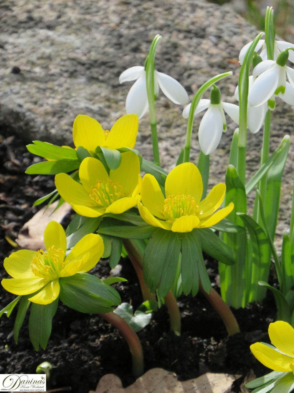 Winterlinge - gelbe Frühlingsblumen