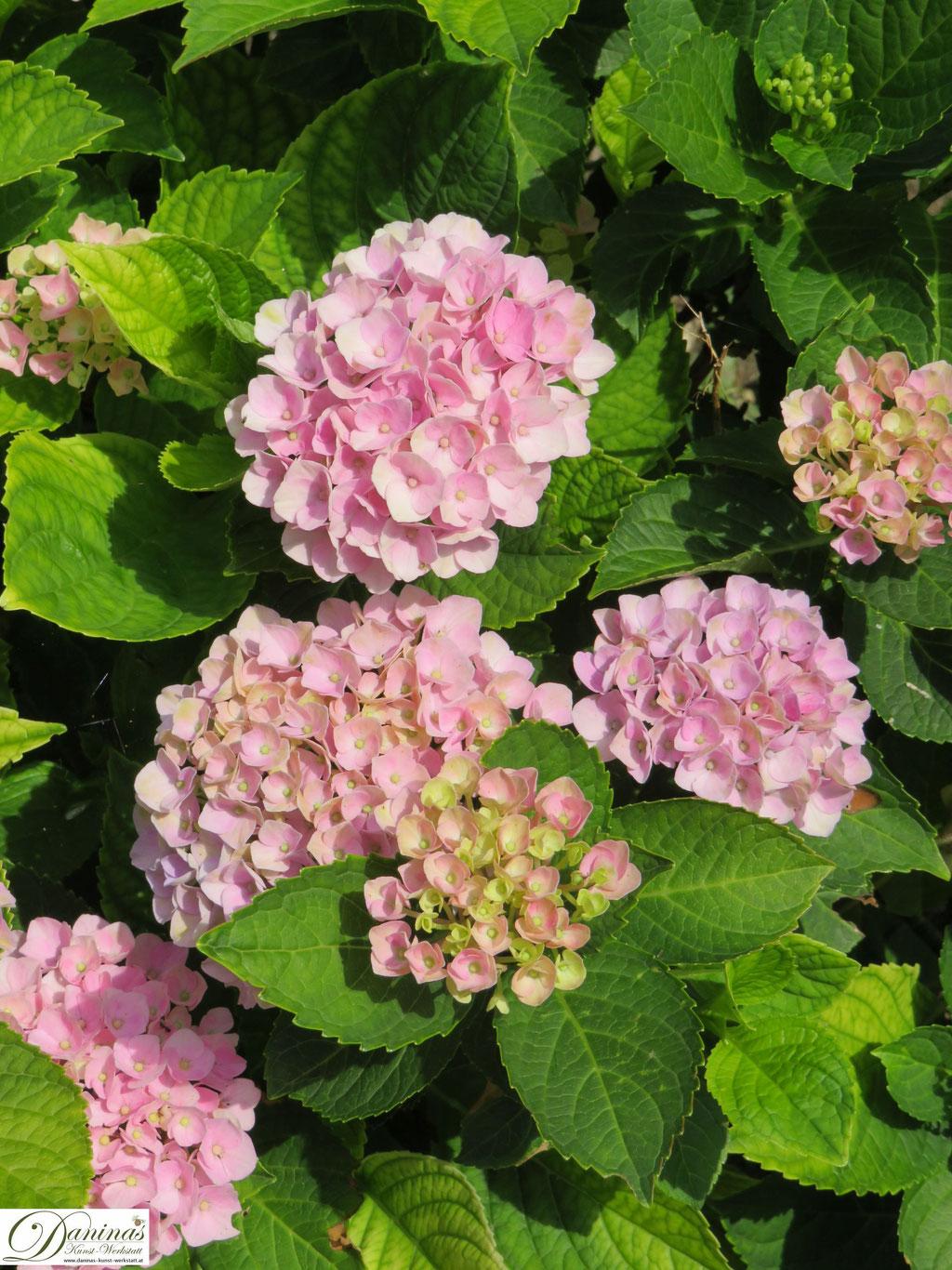 Rosa Hortensienblüten
