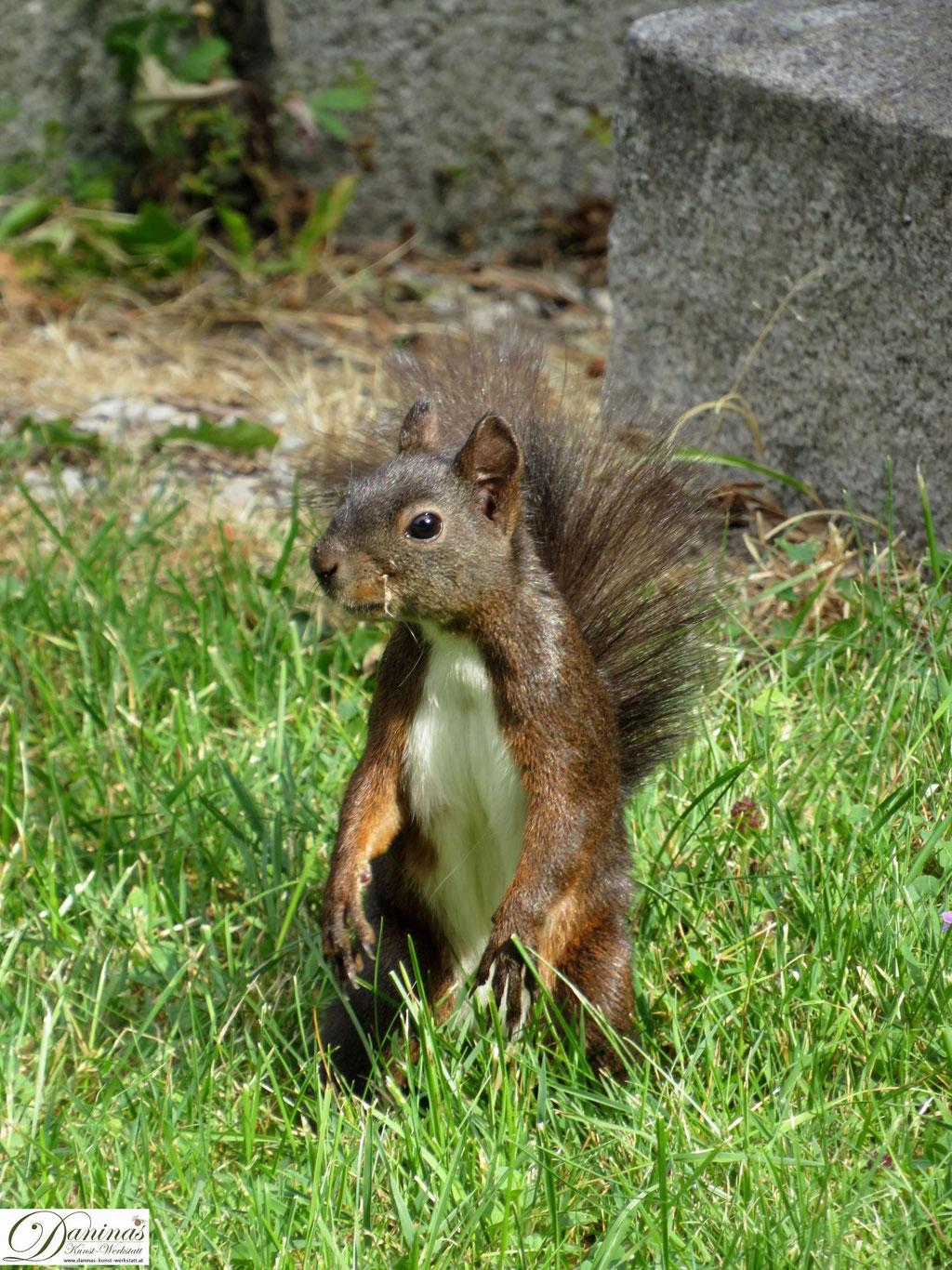Eichhörnchen auf Nahrungssuche im Garten.