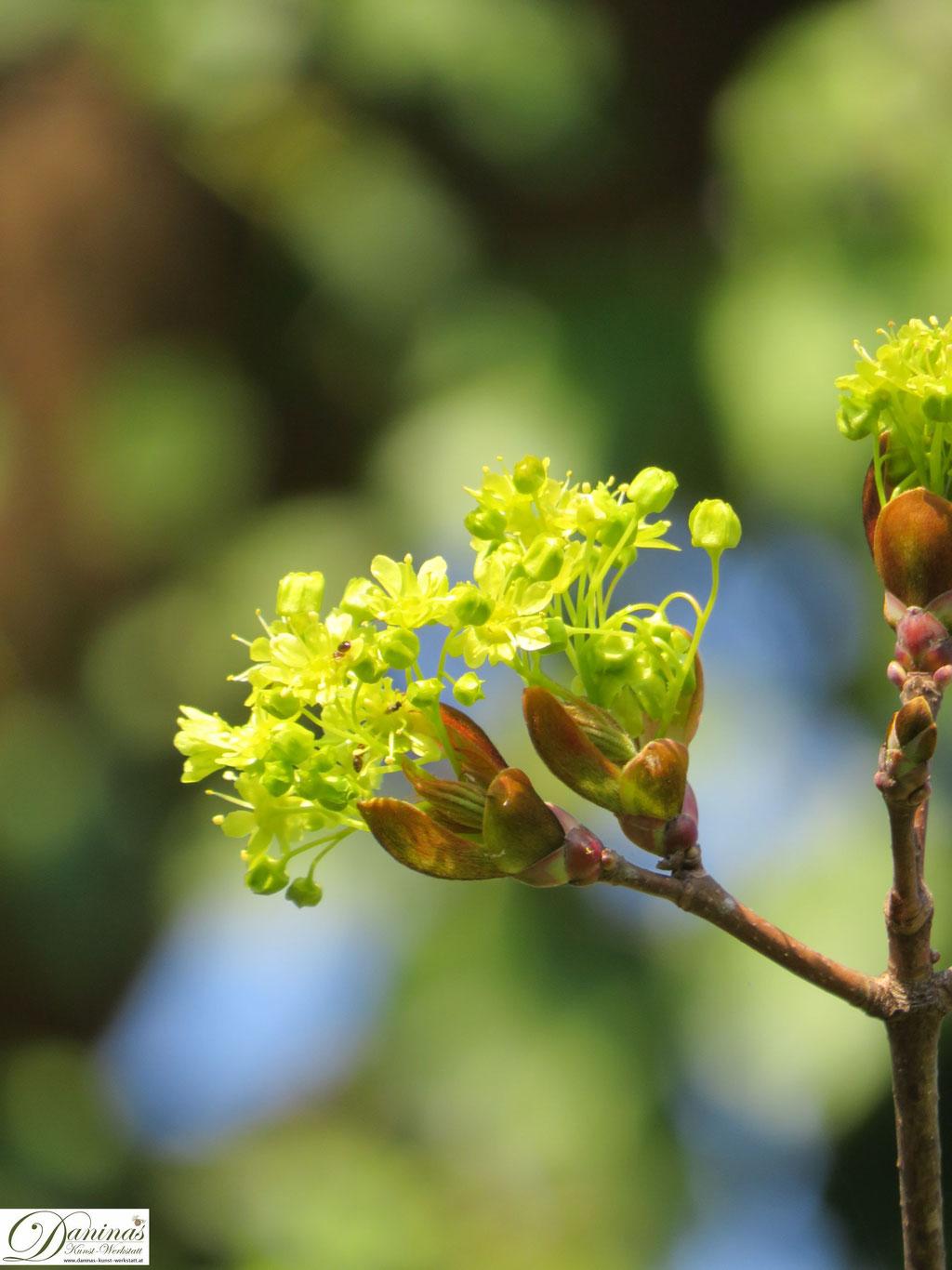 Ahorn Blüte im Frühling