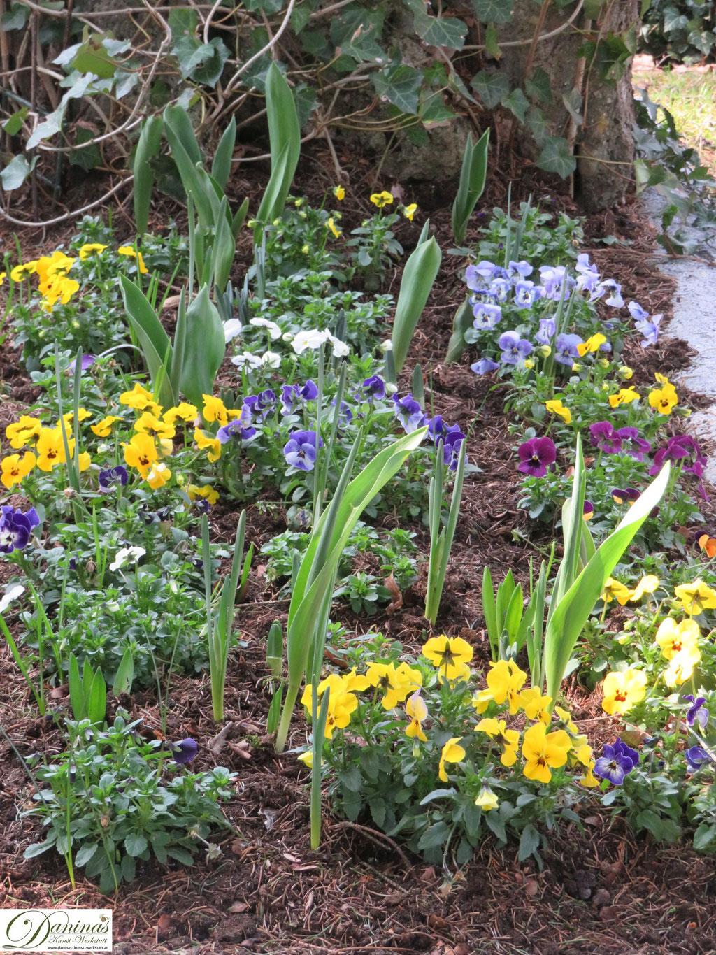 Garten im Frühling - Frühlingsblumen im Beet. Stiefmütterchen.