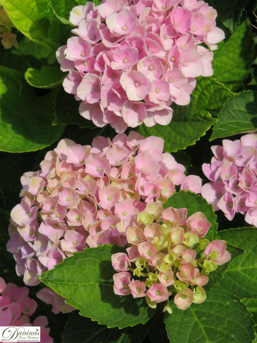 Rosa blühende Hortensien