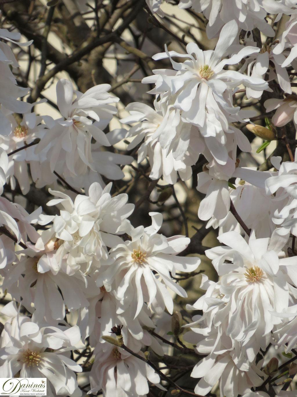 Weiße Magnolie - erste Blüten im Frühling