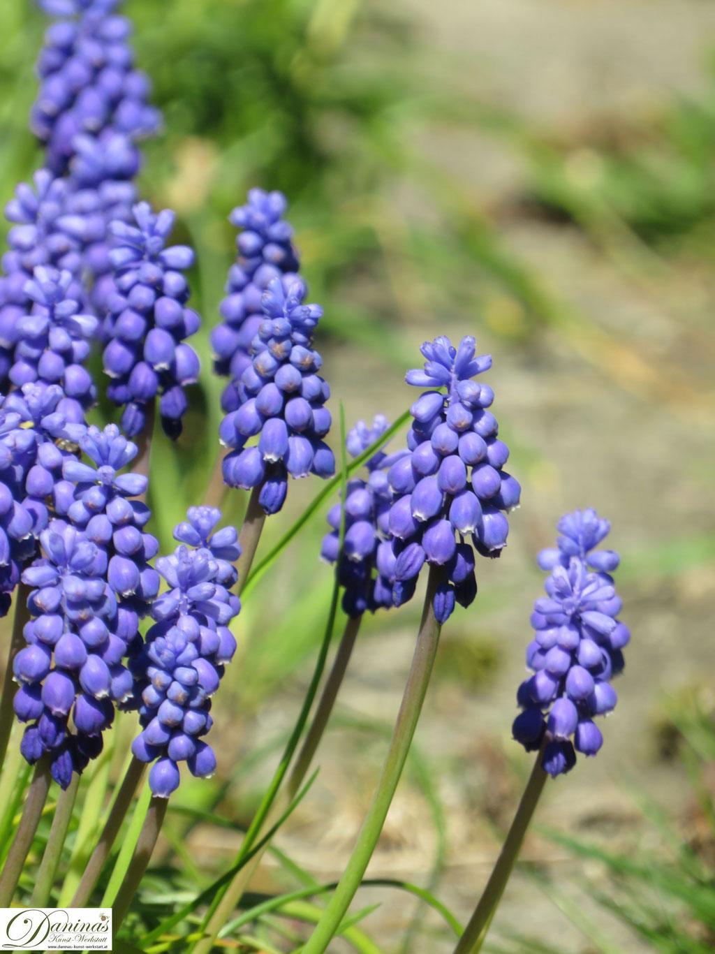 Traubenhyazinthe - blaue Frühlingsblumen im Garten