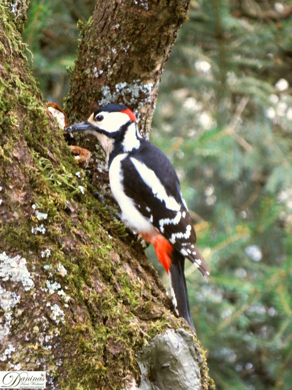 Im Naturgarten finden Specht und Eichelhäher Nahrung auf Nussbäumen.