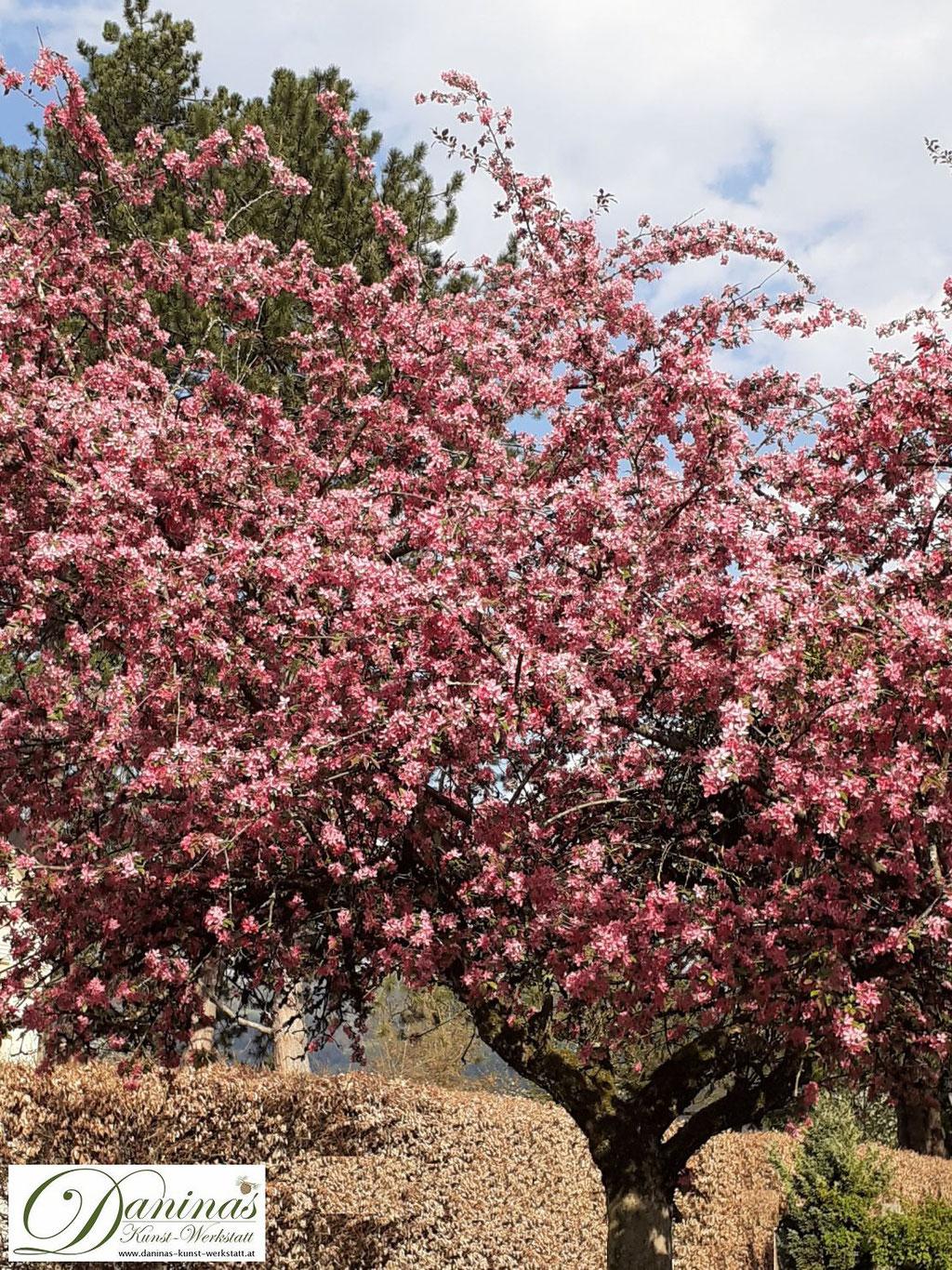 Der Zierapfel 'Rudolph' bezaubert im Frühling mit rosafarbene Blüten und rotem Laub, das im Sommer grün wird.