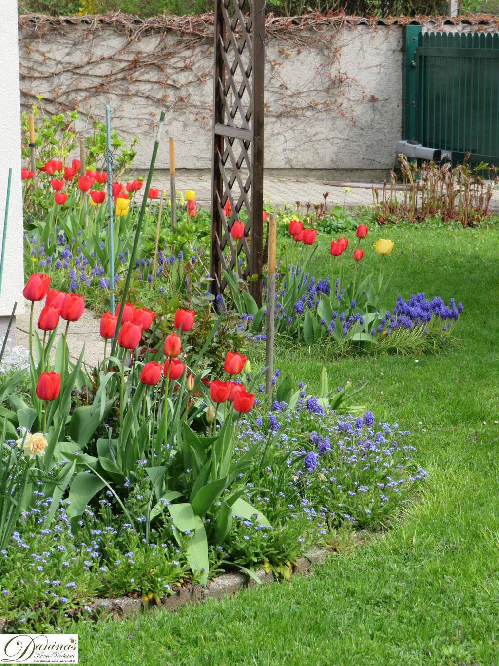 Garten im Frühling - Frühlingsblumen im Beet. Tulpen und Traubenhyazinthen