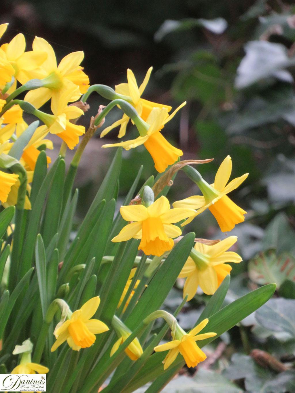 Märzenbecher - Frühlingsblumen