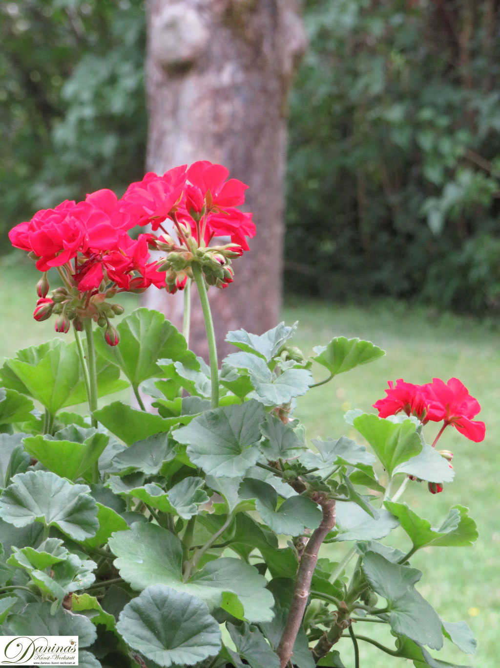 Rot blühende Belagonie im Cottage Garten