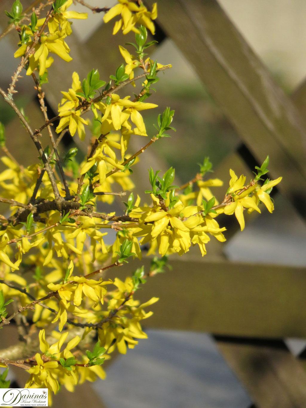 Gelbe Forsythie - erste Blüten im Frühling