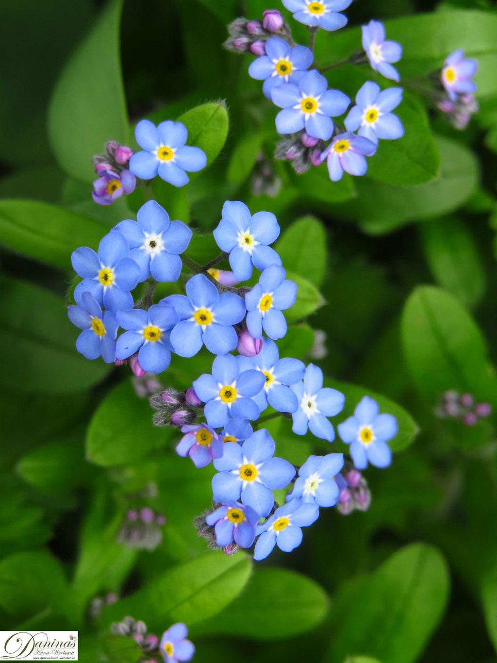 Vergissmeinnicht - blaue Frühlingsblumen im Garten