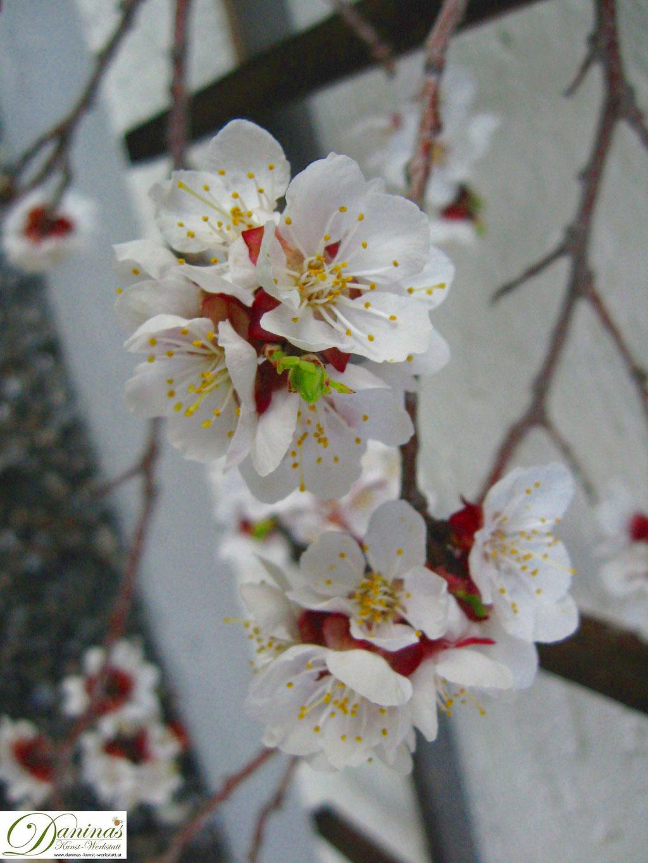 Aprikosenbaum - Blüten im Frühling