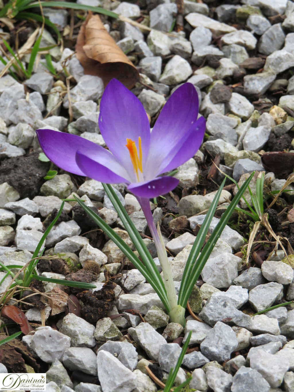Krokus - Frühlingsblumen im Garten