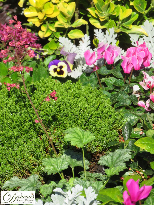 Immergrüne Friedhofspflanzen:  Hebe Green Globe, im Vordergrund ein hellgrünes Purpurglöckchen mit rosa Blüten