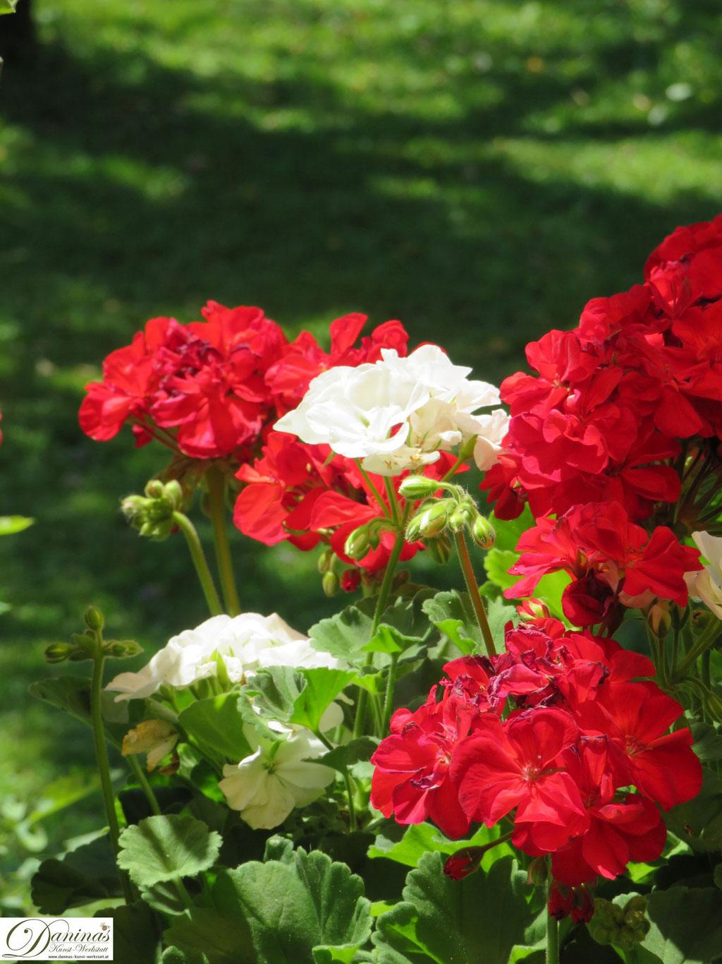 Rote und weiße Belagonien