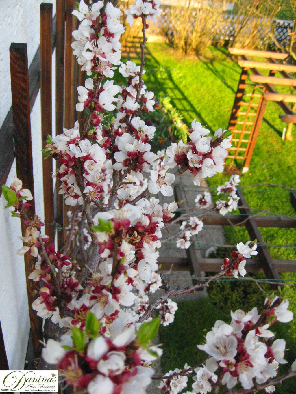 Blühender Aprikosenbaum (Marillenbaum) am Spalier im Frühling