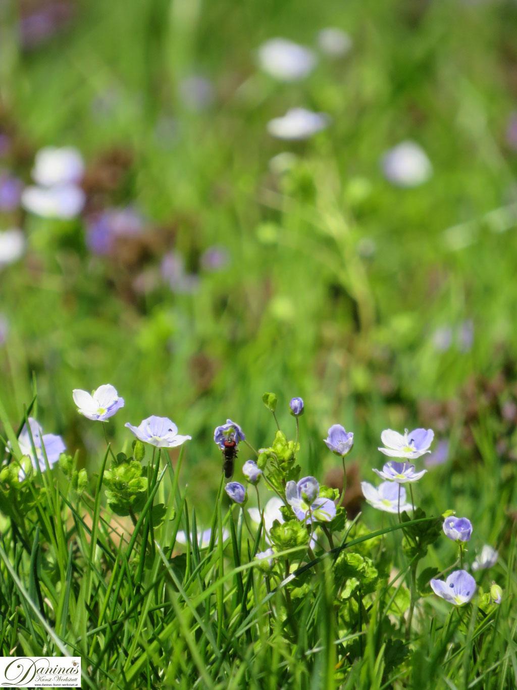 Ehrenpreis im Garten - Wilde blaue Wiesenblumen im Frühling