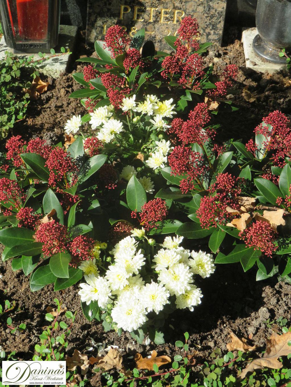 Immergrüne Friedhofspflanzen:  Skimmie mit roten Blütenknospen, umgeben von weißen Chrysanthemen