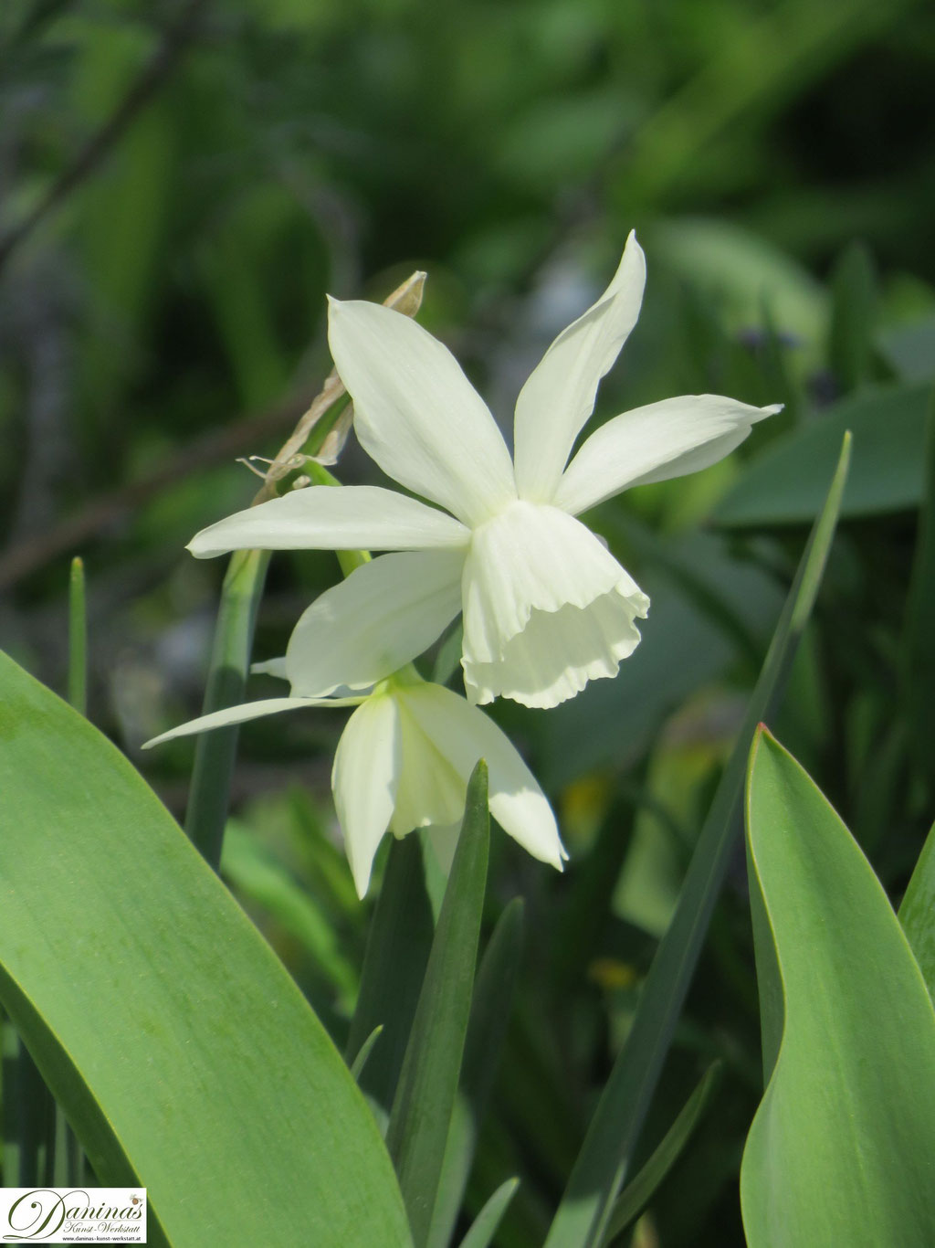 Narzissen - Frühlingsblumen