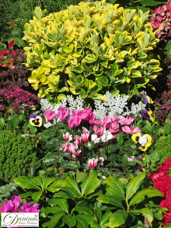 Immergrüne Friedhofspflanzen:  Gelb-grüner Japanspindel