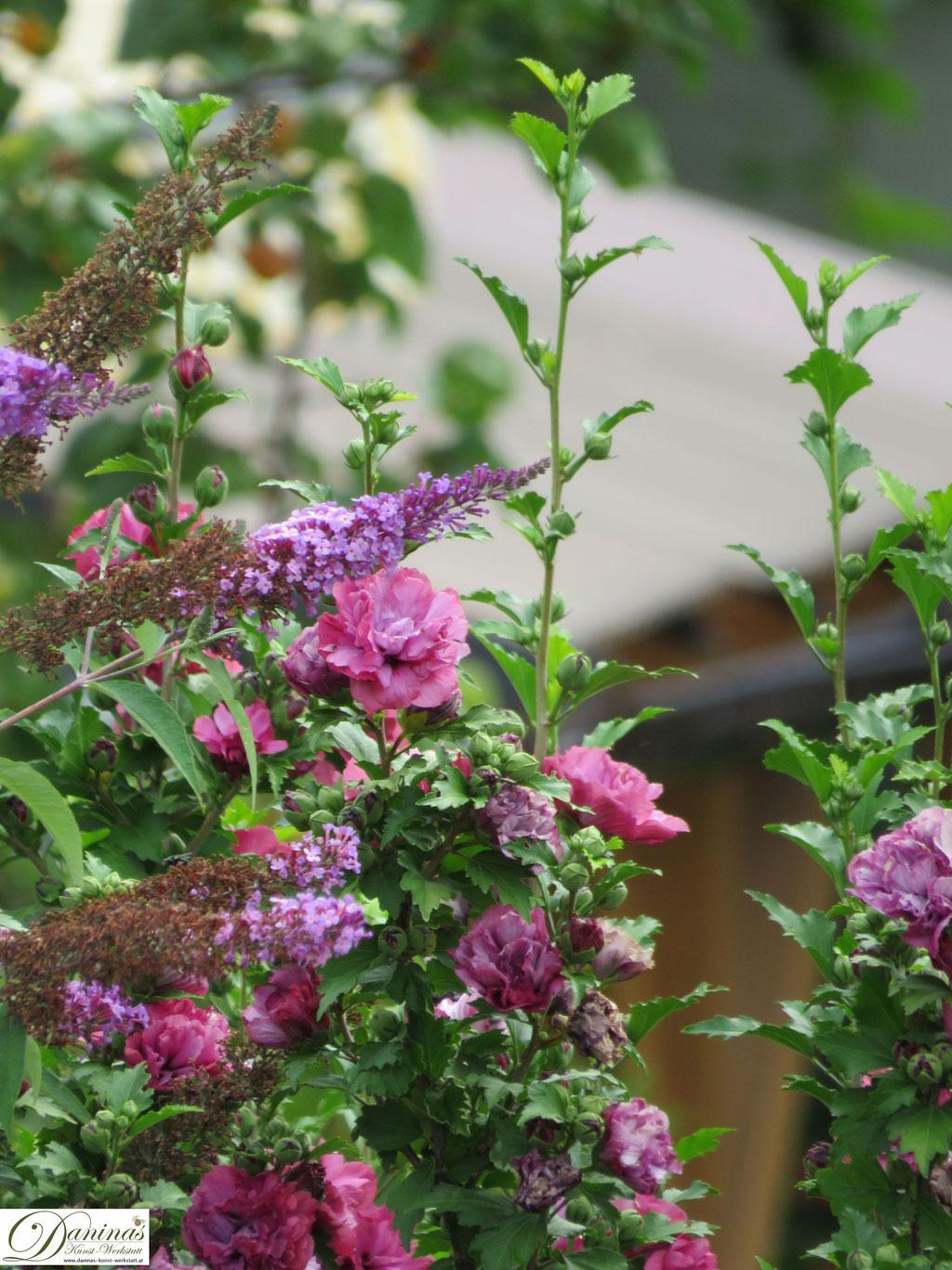 Hibiskus und Sommerflieder - blühende Sträucher im Sommer