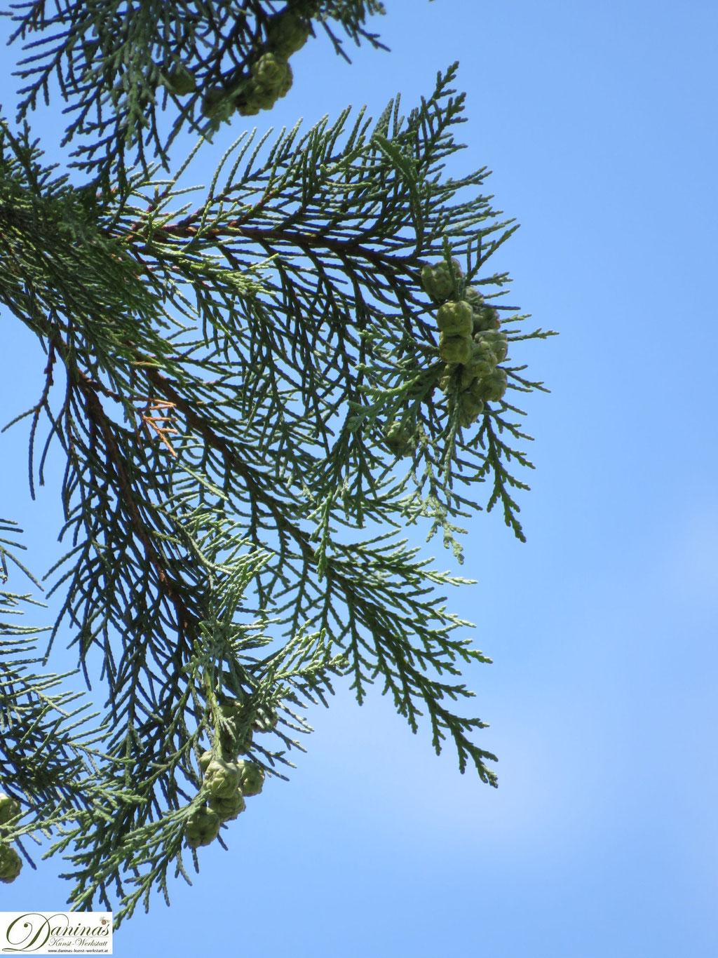 Thuje/Zypresse, traditionelle Palmbuschen Pflanze mit hoher Symbol- und Schutzkraft