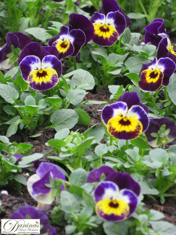 Typische Friedhofsblumen im Herbst: robuste blau/gelbe Hornveilchen
