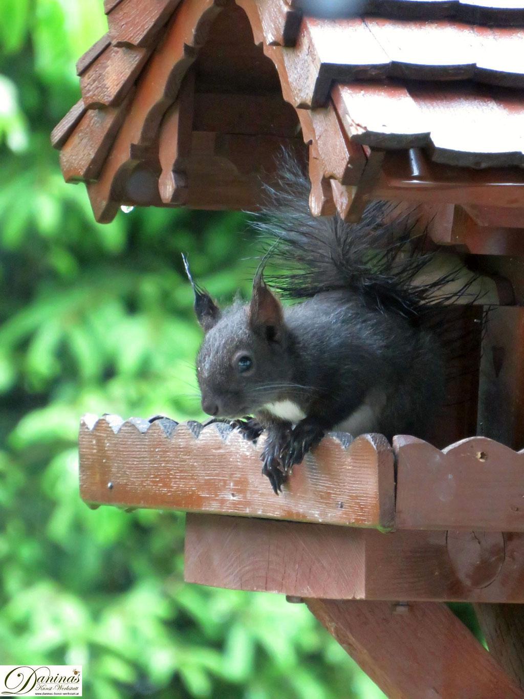 Eichhörnchen auf Nahrungssuche im Vogelhaus