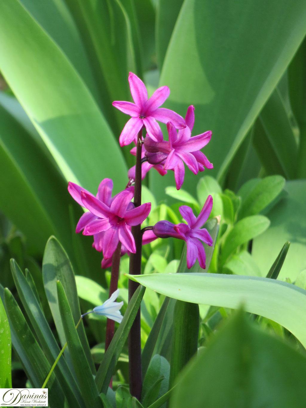 Hyazinthe - Frühlingsblumen im Garten