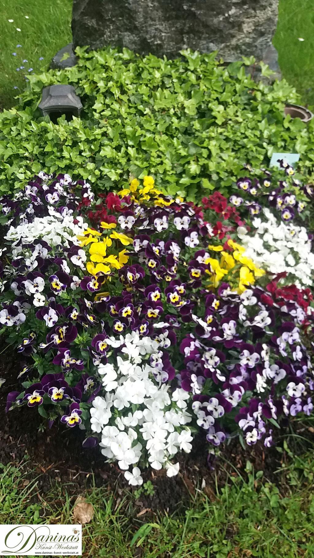 Grabbepflanzung Frühling mit bunten Stiefmütterchen