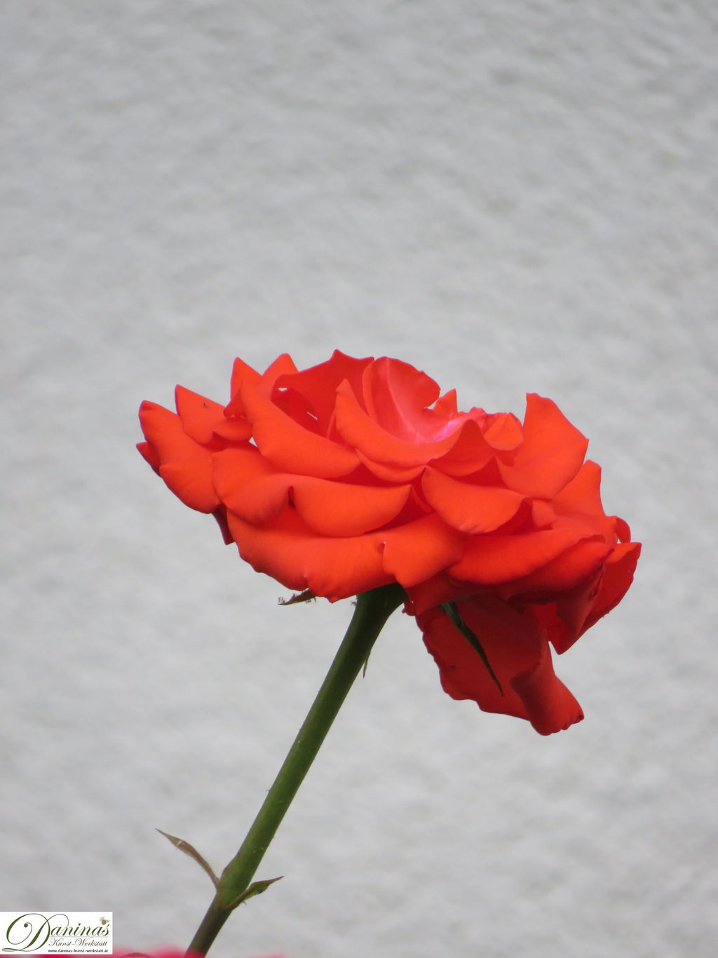 Im Rosengarten - orange Rose