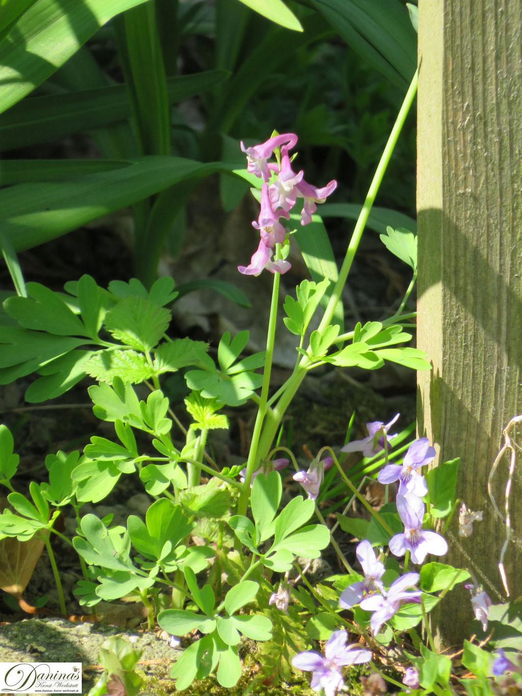 Hohler Lerchensporn im Garten - Wilde Wiesenblumen im Frühling