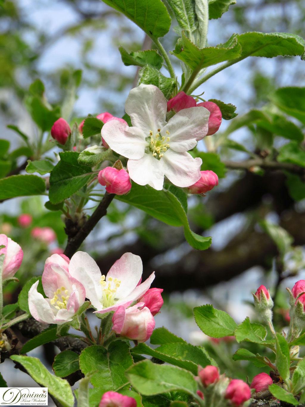 Apfelbaum - Apfelblüten im Frühling