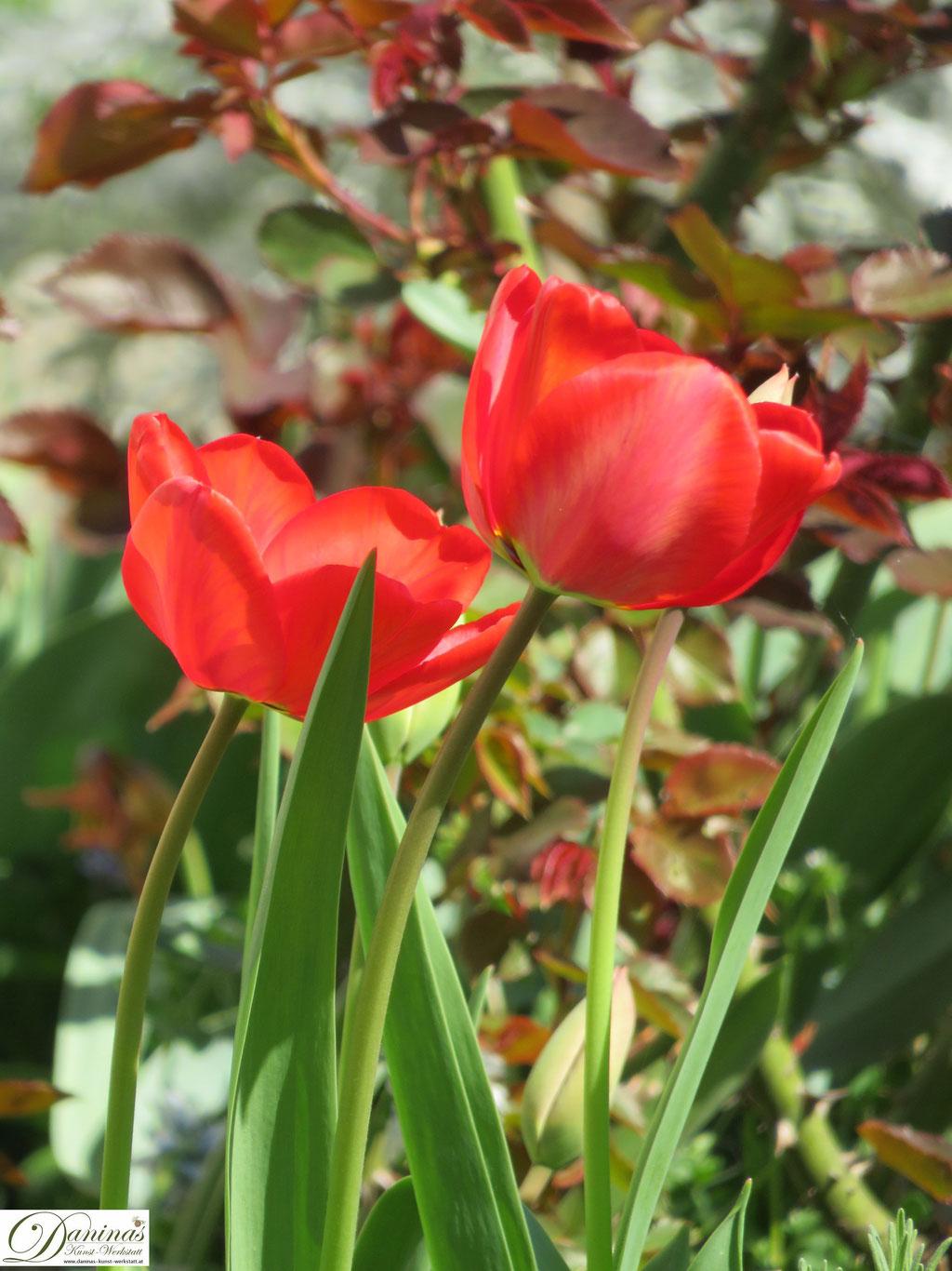 TulpeTulpen - Frühlingsblumenn - Frühlingsblumen