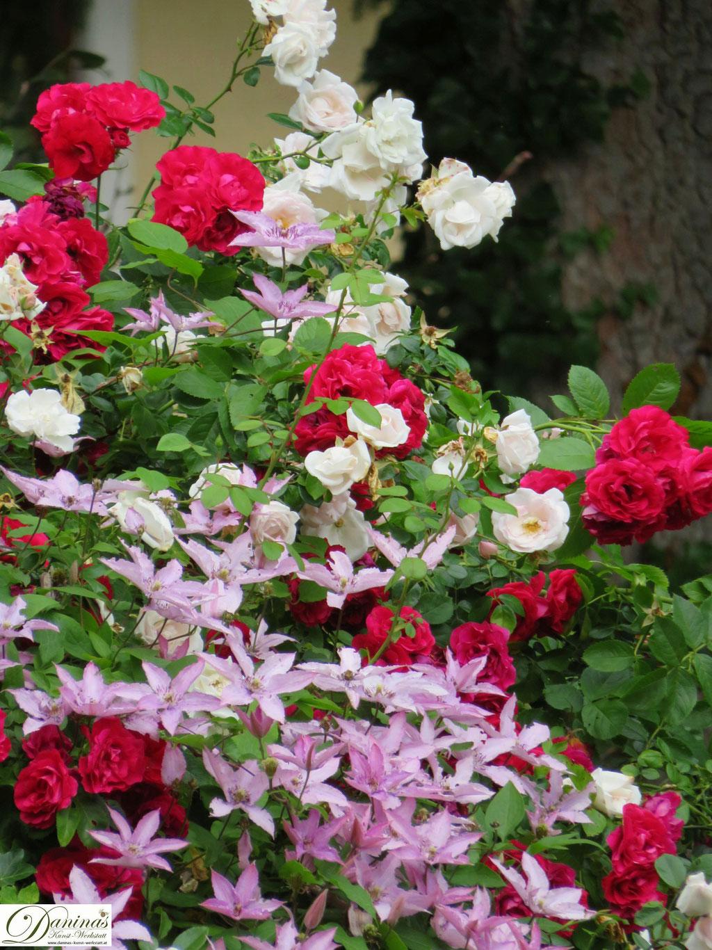 Im Rosengarten - rote und weiße Rose mit Clematis
