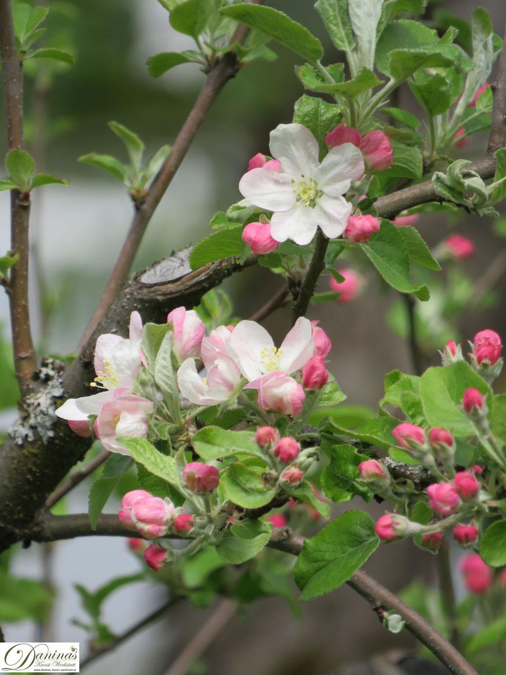 Apfelbaum - erste Knospen und Blüten im Frühling