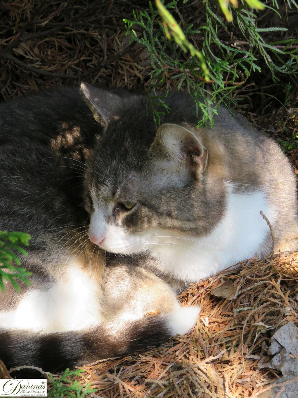 Katze Pauli genießt den Frühling im Garten, auf seinem Lieblingsplatz unter der Thuje. Der Kater hat sich ein Nest gemacht.