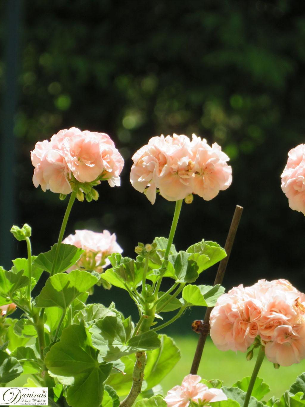 Zartrosa Belagonie im Garten