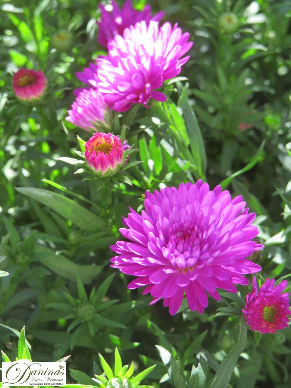 Grabbepflanzung Herbst: pinkfarbige, gefüllte Astern